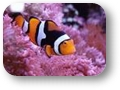 AMPHIPRION_PERCULA_ocellaris