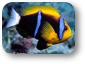 Amphiprion_chrysopterus