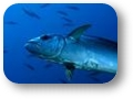 Thunnus_tonggol
