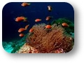 amphiprion_nigripes