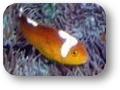 amphiprion_thiellei