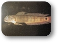 oxyurichthys_papuensis